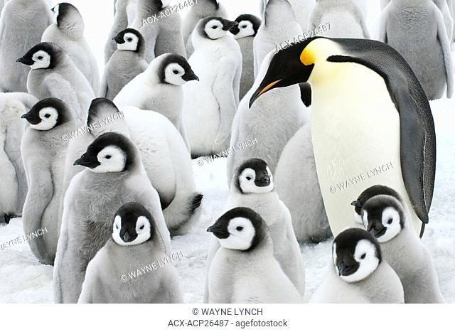 Adult emperor penguin Aptenodytes forsteri and chicks, Snow Hill Island, Antarctic Peninsula