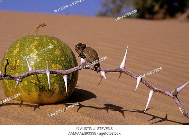 Desert Chameleon juvenile close to Desert Tsama Melon (Chameleo namaquensis) Namibia
