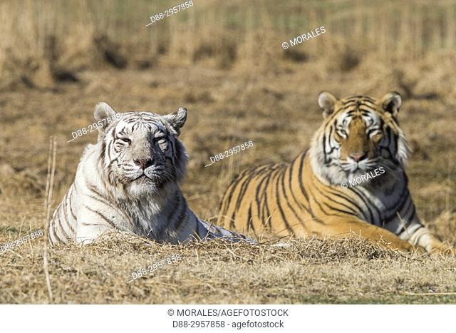 South Africa, Private reserve, Asian (Bengal) Tiger (Panthera tigris tigris), one regular and one white, resting