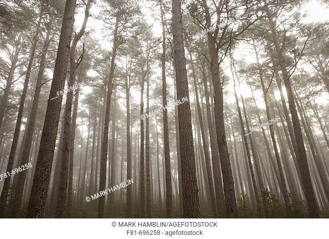 Scots Pine Pinus sylvestris forest in mist, Abernethy Forest, Scotland  UK  September 2006