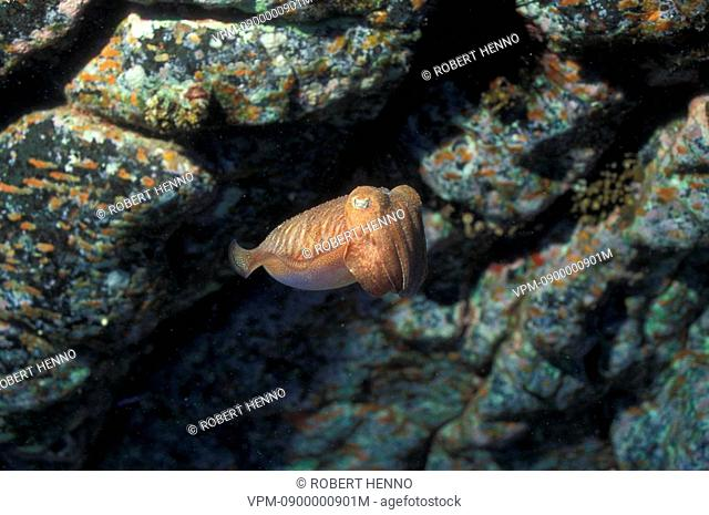 SEPIA OFFICINALISCOMMON CUTTLEFISHSPAIN - CANARY ISLANDS