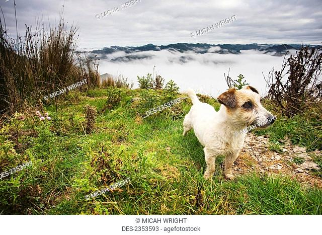 A sheep dog stands with a view from the tops of the hills over the morning fog at Blue Duck lodge in the Whanganui National park; Whakahoro, New Zealand
