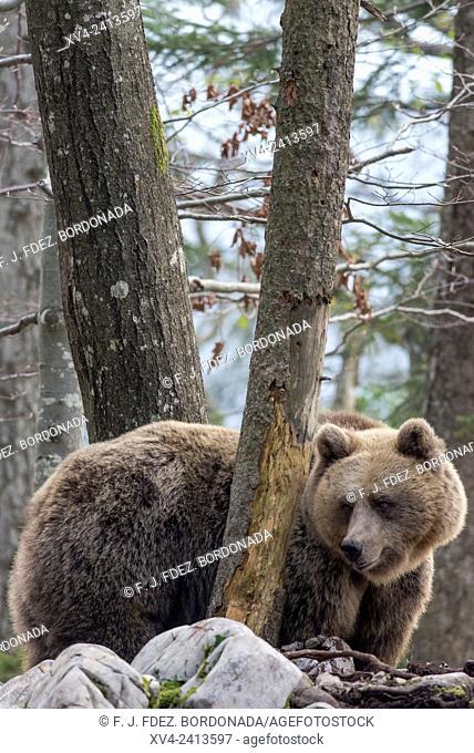 Brown bear (Ursus arctos) in the Slovenian Forest. Slovenia