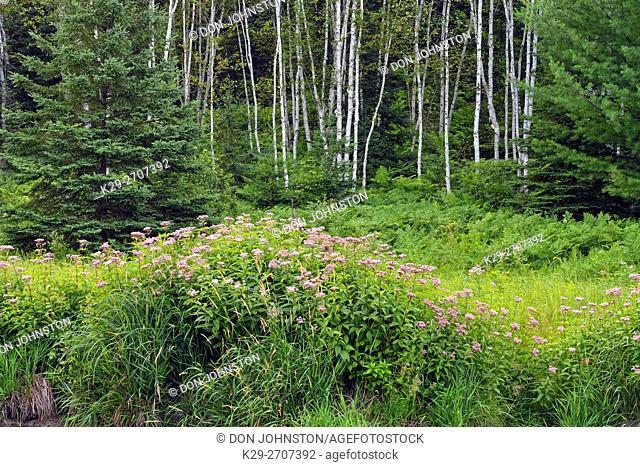Joe-pye-weed colonies flowering on the banks of Junction Creek in late summer, Greater Sudbury, Ontario, Canada