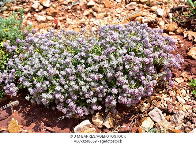 Tomillo blanco or tomillo macho (Teucrium capitatum) is a perennial subshrub native to Meditarranean Basin and western Asia