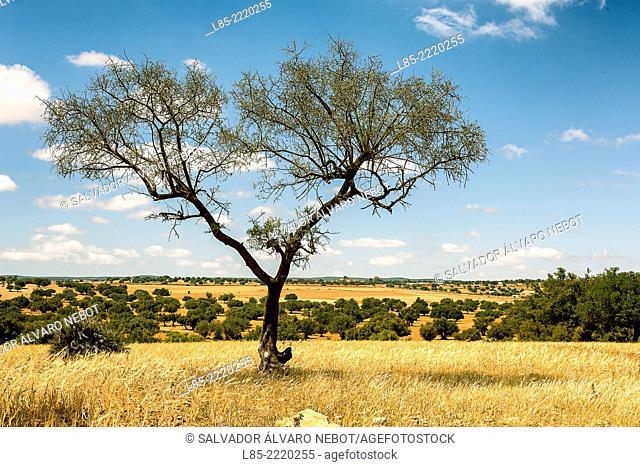 Tree Argan, Argan Valley, Essaouira, Morocco, Africa