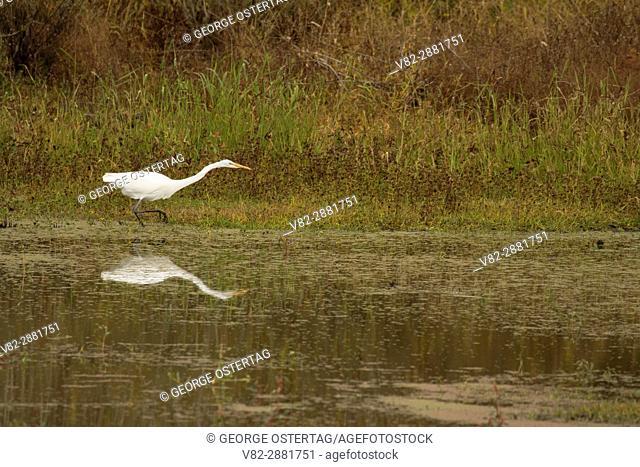 Great egret at Pintail Marsh, Ankeny National Wildlife Refuge, Oregon
