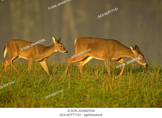 White-tailed deer (Odocoileus virginianus) Fawn and doe, Great Smoky Mountains NP, Tennessee, USA