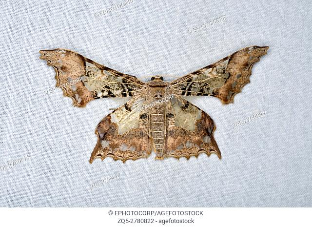 Pretty moth species of northeast India