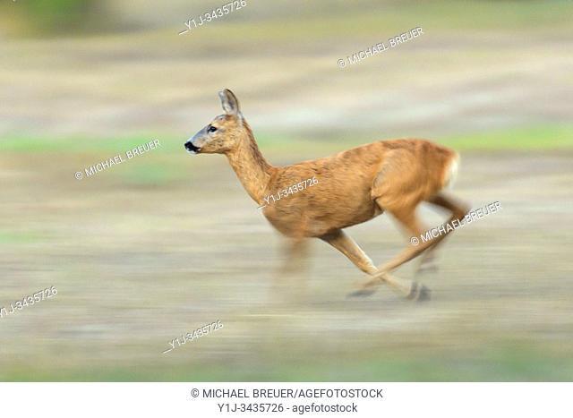Running Western Roe Deer (Capreolus capreolus), Doe, Hesse, Germany, Europe