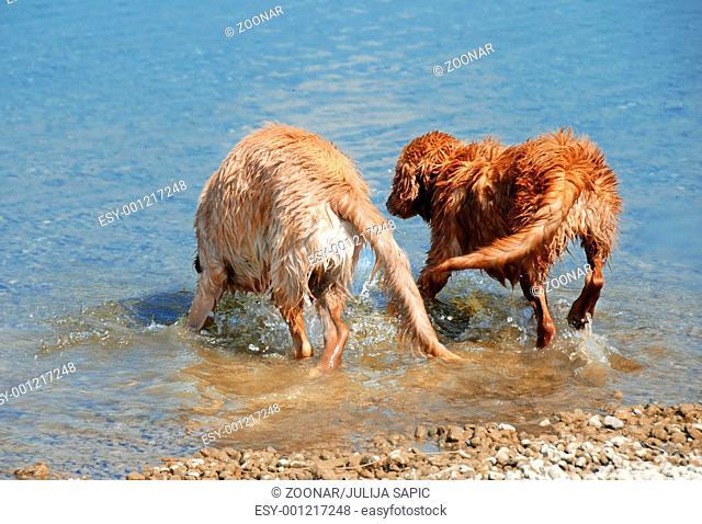 Golden retrievers bathing