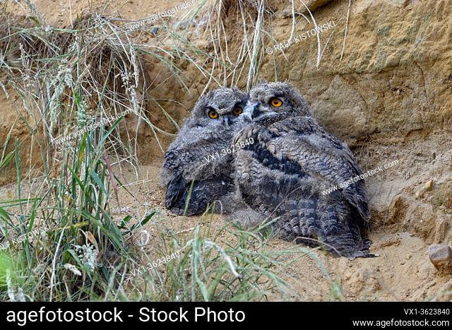 Eurasian Eagle Owls / Europaeische Uhus ( Bubo bubo ), young chicks, sitting next to each other behind some grass in a sand pit, wildlife, Europe