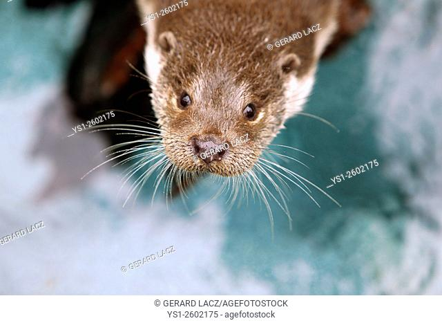 European Otter, lutra lutra, Portrait of Adult, Pyrennees in the South of France
