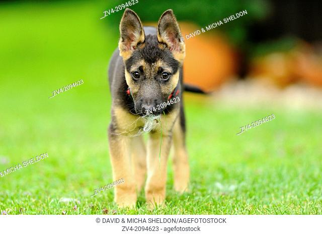 Close-up of a German Shepherd dog puppy on a meadow