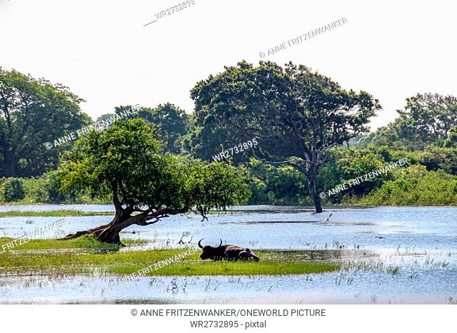 Sri Lanka, South Province, Tissamaharama, Yala National Park, Water Buffalo