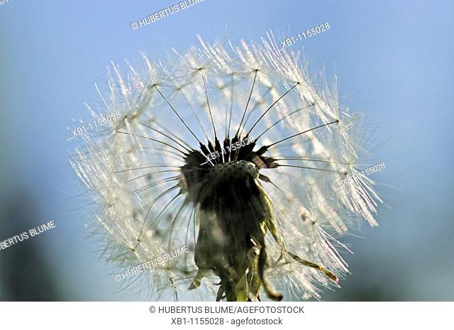 Taraxacum is a large genus of flowering plants in the Asteraceae family, seed head