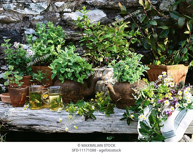 Assorted herbs for tea: scented pelargonium, mint, khat (Catha edulis, Arabian tea), lady's mantle, sage, camomile