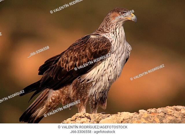 Bonelli's eagle (Hieraaetus fasciautus) in the Serranos region. Valencia. Spain