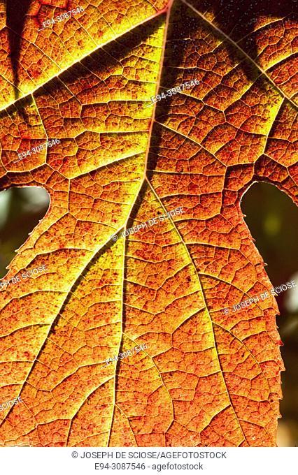 Close-up of an Oak Leaf Hydrangea leaf in fall color