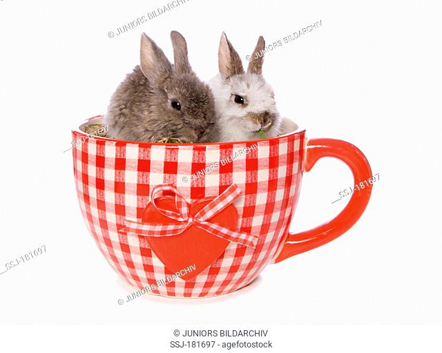 Domestic rabbit. Two bunnies in a huge tea cup. Studio picture against a white background