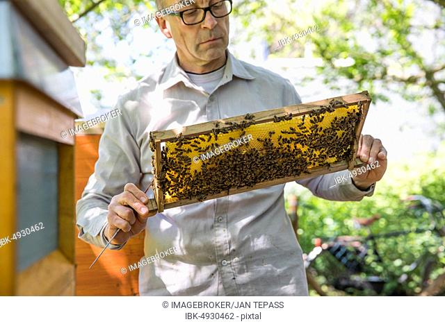 Beekeeper examines a honeycomb with honey bees (Apis) at his stock, North Rhine-Westphalia, Germany, Europe