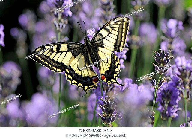 France, Territoire de Belfort, Belfort, garden, Swallowtail (Papilio machaon) on lavender