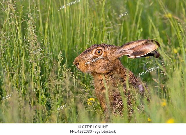 Close-up of Brown Hare Lepus capensis in field