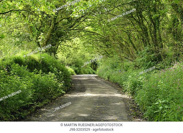 Narrow country road (Hallow way). The Track is bordered by high walls. Cornwall, England, UK