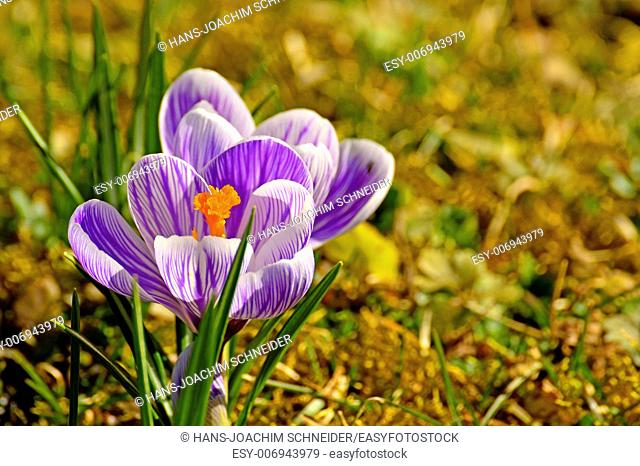 Crocus, spring flower in Germany