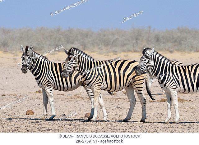 Burchell's zebras (Equus quagga burchellii), standing on arid ground, Etosha National Park, Namibia, Africa