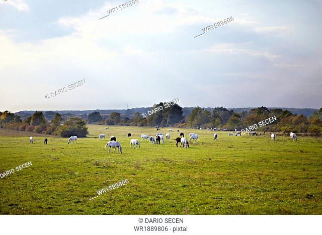 Herd Of Horses, Croatia, Europe