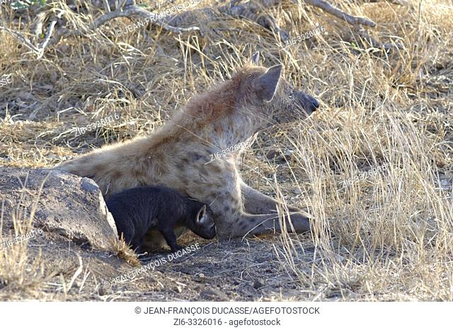 Spotted hyenas (Crocuta crocuta), lying mother with young at the burrow entrance, early in the morning, Kruger National Park, South Africa, Africa