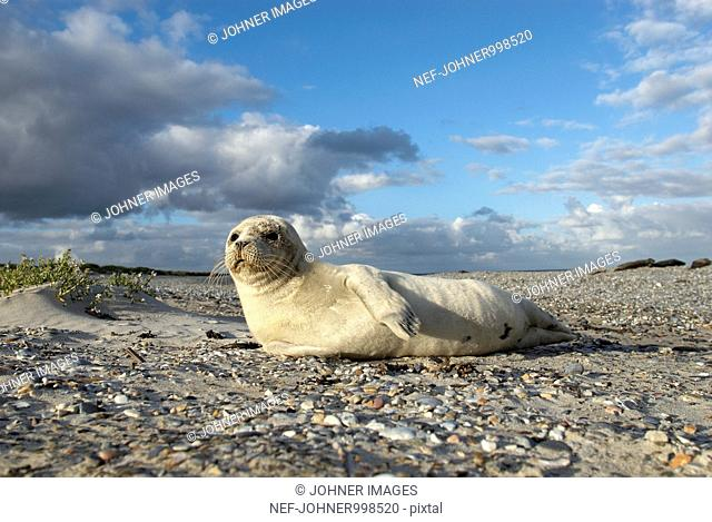 Harbor seal pup on a beach, Germany