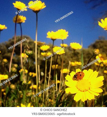A ladybug perches on a yellow daisy in Prado del Rey, Sierra de Cadiz, Andalusia, Spain