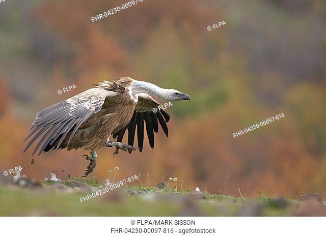 Eurasian Griffon Vulture Gyps fulvus adult, running across hillside, Rhodope Mountains, Bulgaria, november