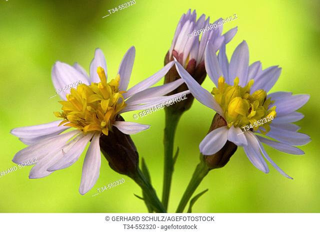 Sea Aster (Aster tripolium). Wadden Sea National Par. Schleswig-Holstein, Germany