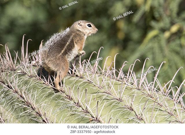Harris Ground Squirrel on cactus (Ammonspermophilus harrisii) Southern Arizona