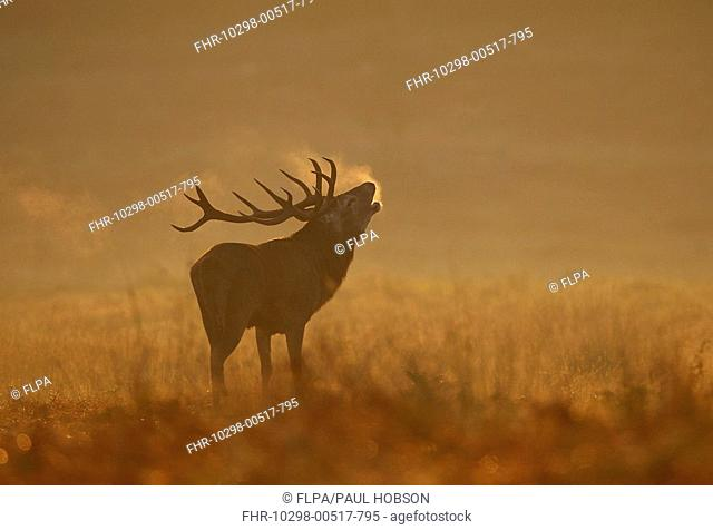Red Deer Cervus elaphus stag, roaring at dawn, during rut, Bradgate Park, Leicestershire, England, autumn