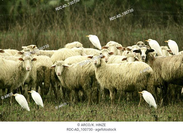 Flock of Domestic Sheep and Cattle Egrets in rain Sardinia Italy Bubulcus ibis heron Cattle Egret