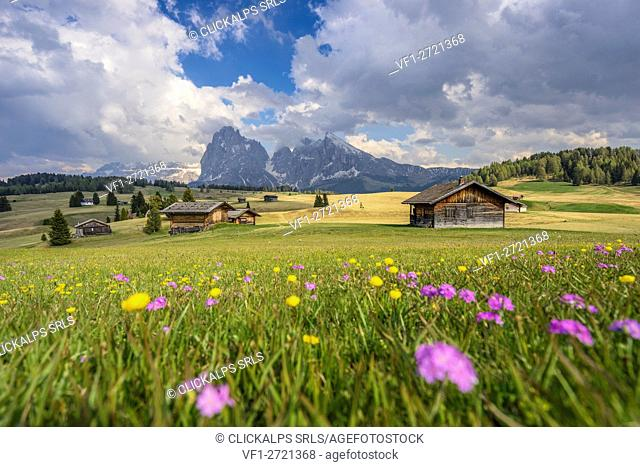 Alpe di Siusi/Seiser Alm, Dolomites, South Tyrol, Italy. Spring colors on the Alpe di Siusi/Seiser Alm with the Sassolungo/Langkofel and the...