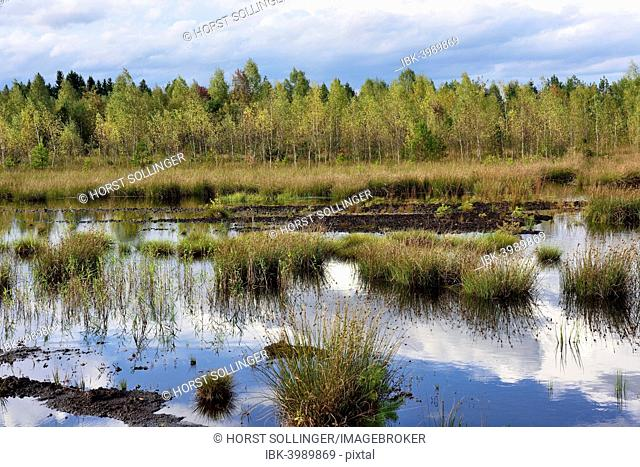 Waterlogged, renatured bog with bulrushes (Schoenoplectus lacustris), common reed (Phragmites australis) and birches (Betula pubescens)