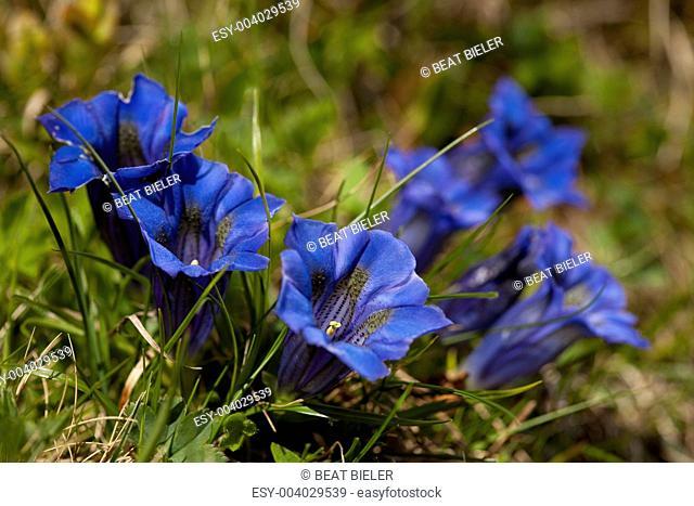 Blue Gentians