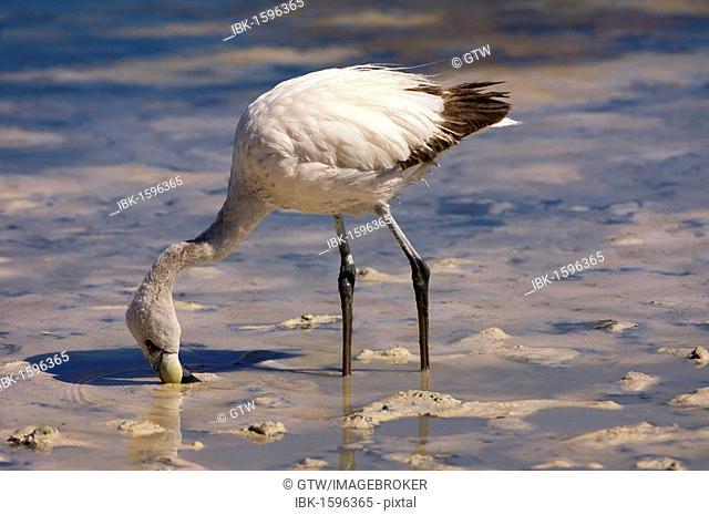 Young Puna or James's Flamingo (Phoenicoparrus jamesi), Laguna Hedionda, Potosi, Bolivia, South America