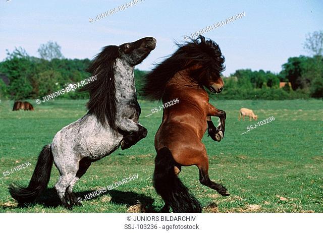 2 Mini - Shetland Ponys
