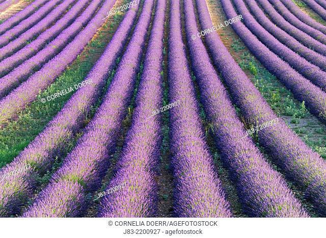 Lavender field (Lavendula augustifolia), Valensole, Plateau de Valensole, Alpes-de-Haute-Provence, Provence-Alpes-Cote d'Azur, Provence, France