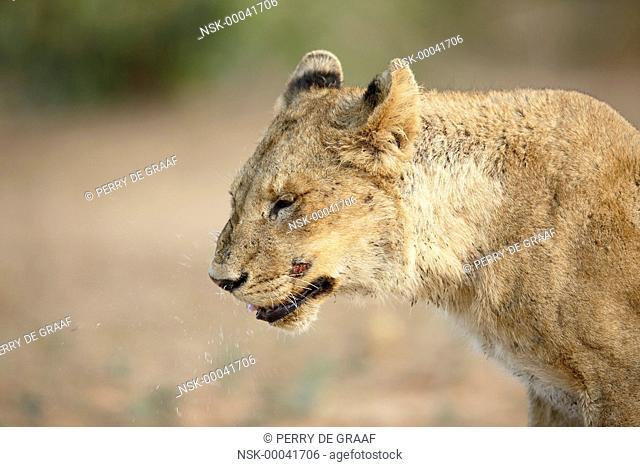 Lion (Panthera leo) sub-adult sneezing, South Africa, Mpumalanga, Kruger National Park