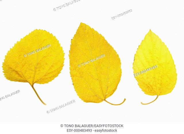 Autumn, fall leaves decorative still at studio white background, using the transparency