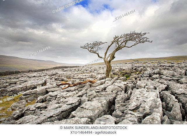 Lone Tree on Twistleton Scar near Ingleton Yorkshire England