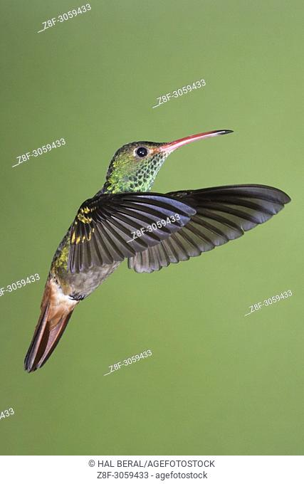 Rufous-Tailed Hummingbird flying (Amazilia tzacatl). Ecuador