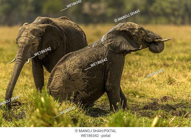 African Elephants having a mud bath in Masai Mara